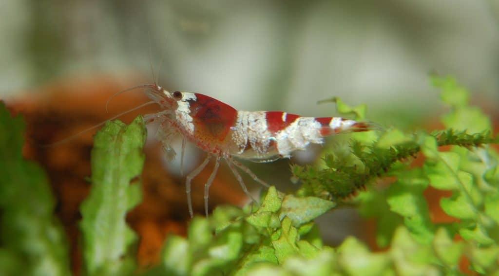 Crystal Red Shrimp CRS