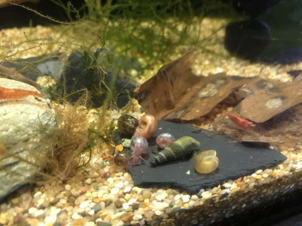 how to get rid of snails in a shrimp tank